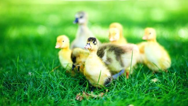 Ducklings by Shutterstock