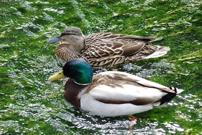 Still_full_frame_ducks.jpg